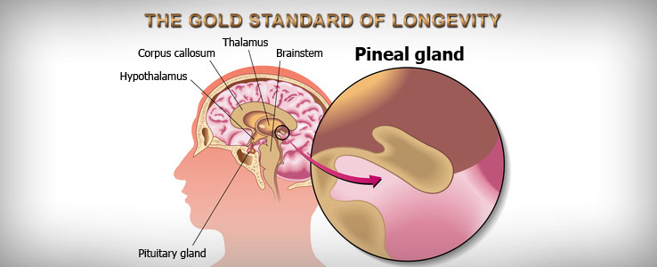 pineal gland peptides