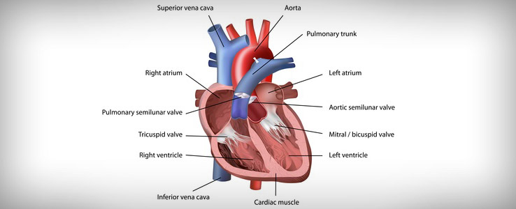 Heart muscle peptides (myocardium peptide)